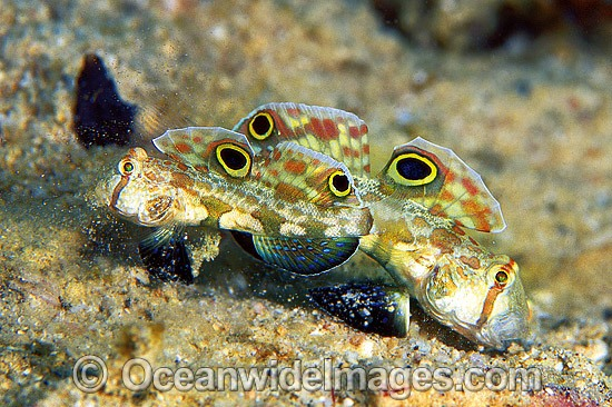Crab-eyed Goby Signigobius biocellatus photo