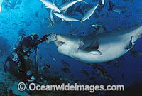 Diver hand feeding a Bull Shark photo