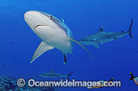 Gray Reef Shark and Silvertip Shark photo