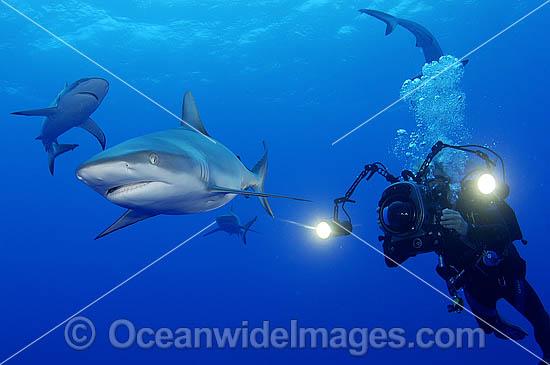Scuba Diver photographing Gray Reef Shark (Carcharhinus amblyrhynchos). Also known as Grey Reef Shark, Black-vee Whaler and Longnose Blacktail Shark. French Polynesia. Found throughout tropical Indo-West and Central Pacific. Photo - Michael Patrick O'Neill
