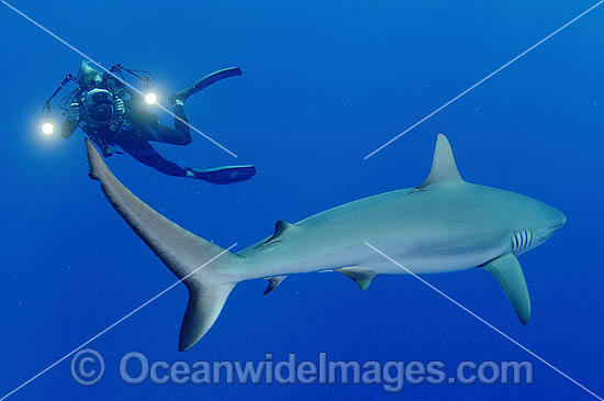 Scuba Diver photographing Gray Reef Shark (Carcharhinus amblyrhynchos). Also known as Grey Reef Shark, Black-vee Whaler and Longnose Blacktail Shark. French Polynesia. Found throughout tropical Indo-West and Central Pacific.