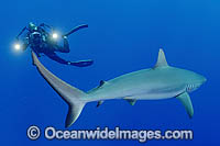 Scuba Diver photographing Gray Reef Shark photo