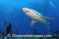 Scuba Divers Silvertip Shark Photo - Michael Patrick O'Neill