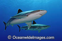 Silvertip Shark with Scuba Diver photo