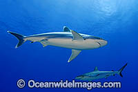 Silvertip Shark with Grey Reef Shark Photo - Michael Patrick O'Neill