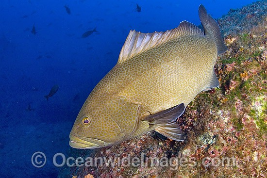 Sailfin Grouper (Mycteroperca olfax). Cocos Island UNESCO World Heritage Site, Costa Rica, Pacific Ocean, Central America. Photo - Michael Patrick O'Neill