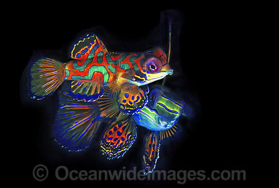 Mandarin-fish (Synchiropus splendidus) - courting behaviour of male and female. Great Barrier Reef, Queensland, Australia