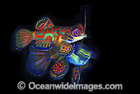 Mandarin-fish courting behaviour photo
