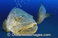 Atlantic Goliath Grouper Epinephelus itajara Photo - Michael Patrick O'Neill
