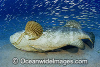 Atlantic Goliath Grouper courtship mating behaviour Photo - Michael Patrick O'Neill