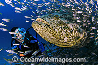Scuba Diver Atlantic Goliath Grouper Baitfish Photo - Michael Patrick O'Neill