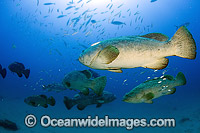 Unusual gathering of Atlantic Goliath Grouper Photo - Michael Patrick O'Neill