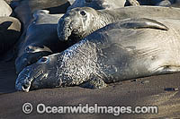 Elephant Seal Mirounga angustirostris Photo - Michael Patrick O'Neill