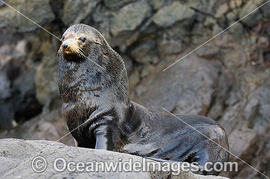 Guadalupe Fur Seal (Arctocephalus townsendi). Guadalupe Island, Mexico. Classified Vulnerable species on the IUCN Red List. Photo - Michael Patrick O'Neill