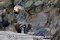 Guadalupe Fur Seal Arctocephalus townsendi photo