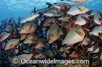 Schooling Paddletail Lutjanus gibbus photo