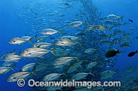 Schooling Big-eye Trevally Caranx sexfasciatus photo