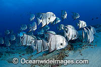 Schooling Atlantic Spadefish Photo - Michael Patrick O'Neill