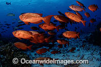 Schooling Crescent-Tail Bigeye Priacanthus hamrur photo