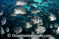 Schooling Atlantic Spadefish Chaetodipterus faber photo