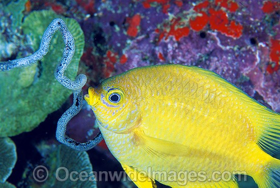 Golden Damsel (Amblyglyphidodon aureus) aerating eggs attached to Whip Coral. Also known as Lemon Damsel, Yellow Damselfish and Golden Sergeant. Great Barrier Reef, Queensland, Australia