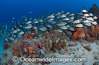 Schooling Cottonwick Haemulon melanurum Photo - Michael Patrick O'Neill