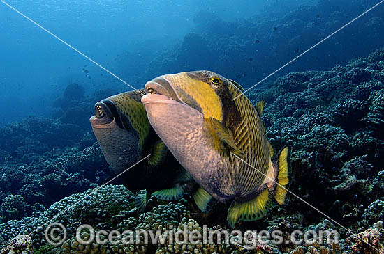 Titan Triggerfish courtship behaviour photo