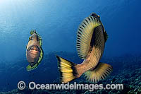 Titan Triggerfish courtship behavior Photo - Michael Patrick O'Neill
