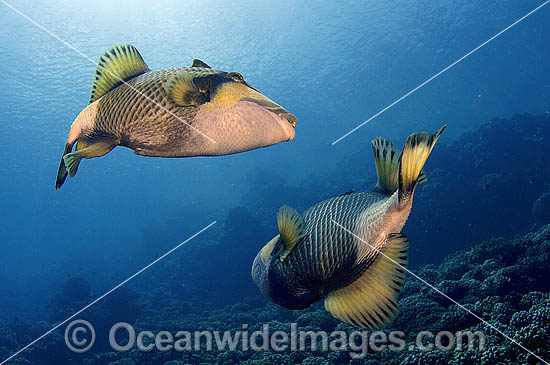 Titan Triggerfish (Balistoides viridescens) - possibly courtship behaviour. French Polynesia. Found thoughout the Great Barrier Reef, NW Australia, SE Asia and Indo-central Pacific.