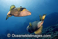 Titan Triggerfish courtship behaviour Photo - Michael Patrick O'Neill