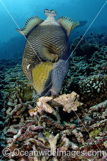 Titan Triggerfish (Balistoides viridescens) - attending nest. French Polynesia. Found thoughout the Great Barrier Reef, NW Australia, SE Asia and Indo-central Pacific. Photo - Michael Patrick O'Neill