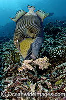 Titan Triggerfish attending nest Photo - Michael Patrick O'Neill