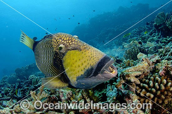 Titan Triggerfish (Balistoides viridescens) - possibly courtship behaviour. French Polynesia. Found thoughout the Great Barrier Reef, NW Australia, SE Asia and Indo-central Pacific. Photo - Michael Patrick O'Neill