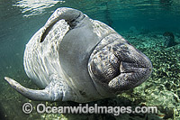 Florida Manatee Trichechus manatus latirostris Photo - Michael Patrick O'Neill