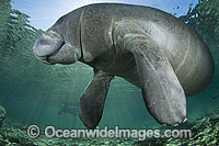 Florida Manatee Photo - Michael Patrick O'Neill