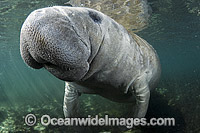 Florida Manatee Trichechus manatus latirostris photo