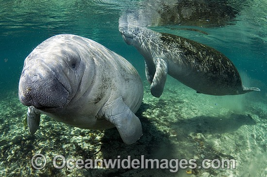 Florida Manatee (Trichechus manatus latirostris). Also known as Sea Cow. Crystal River Florida, USA. Classified Endangered Species on the IUCN Red list.