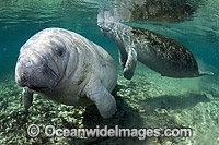 Florida Manatee Sea Cow Photo - Michael Patrick O'Neill