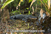 American Alligator Alligator mississippiensis Photo - Michael Patrick O'Neill