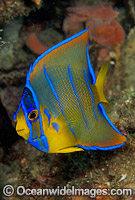 Queen Angelfish juvenile photo