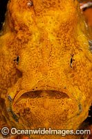 Longlure Frogfish Antennarius multiocellatus photo