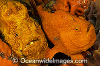 Longlure Frogfish pair photo