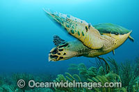 Hawksbill Sea Turtle Photo - Michael Patrick O'Neill