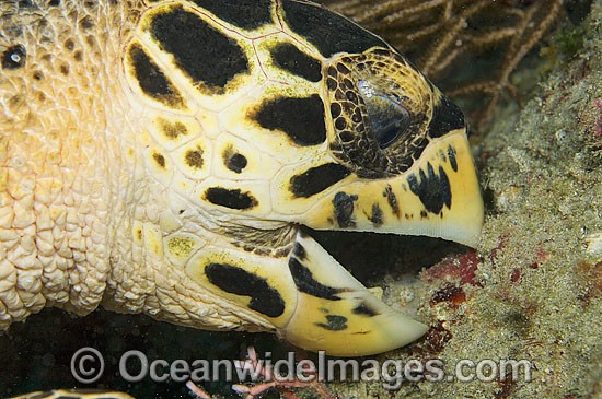 Hawksbill Sea Turtle (Eretmochelys imbricata) - feeding on sponge. Juno Beach, Florida, USA. Found in tropical and warm temperate seas worldwide. Rare. Classified Critically Endangered species on the IUCN Red List. Photo - Michael Patrick O'Neill