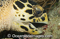 Hawksbill Sea Turtle feeding on sponge photo