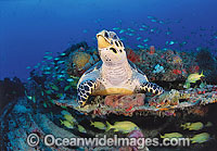Hawksbill Sea Turtle Eretmochelys imbricata photo