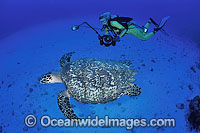 Diver with Hawksbill Turtle photo