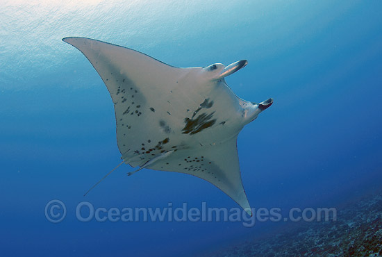 Giant Oceanic Manta Ray (Manta birostris). Also known as Devil Ray and Devilfish. French Polynesia. Found in tropical and warm temperate seas.