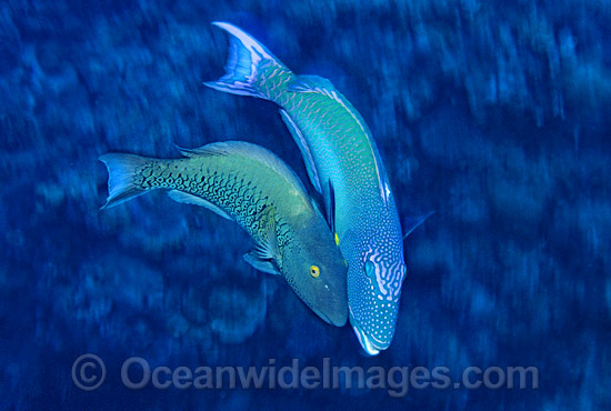 Red-speckled Parrotfish (Cetoscarus bicolor) - male courting a female. Also known as Two-colour Parrotfish. Great Barrier Reef, Queensland, Australia Photo - Gary Bell