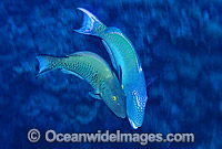 Male Red-speckled Parrotfish courting female Photo - Gary Bell